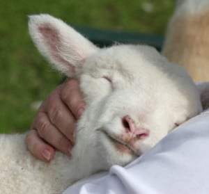 sheep-in-peace