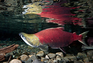 Ugly Salmon, the Fall, and Our Beauty